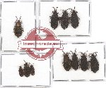 Scientific lot no. 557 Heteroptera (Aradidae) (11 pcs)
