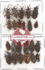 Scientific lot no. 561 Heteroptera (23 pcs)