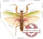 Mantidae sp. 15 (5 pcs)
