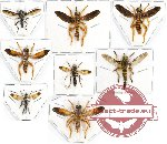 Scientific lot no. 21 Diptera (8 pcs)