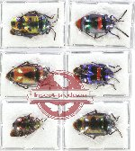 Scientific lot no. 132 Heteroptera (Scutellarinae) (6 pcs A-, A2)