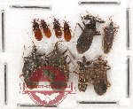 Scientific lot no. 437A Heteroptera (10 pcs)