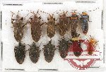 Scientific lot no. 442A Heteroptera (9 pcs)