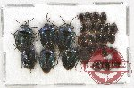 Scientific lot no. 420A Heteroptera (27 pcs)