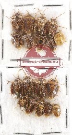 Scientific lot no. 434A Heteroptera (Pentatomidae) (19 pcs)