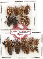 Scientific lot no. 436A Heteroptera (16 pcs)