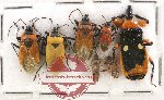 Scientific lot no. 439A Heteroptera (7 pcs)