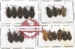 Scientific lot no. 445A Heteroptera (18 pcs)