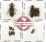 Scientific lot no. 100 Staphylinidae (16 pcs)