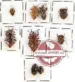 Scientific lot no. 443 Heteroptera (9 pcs)