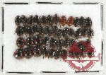 Scientific lot no. 422A Heteroptera (Cydnidae) (45 pcs)
