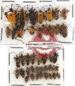 Scientific lot no. 441A Heteroptera (42 pcs)