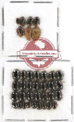 Scientific lot no. 417A Heteroptera (37 pcs)