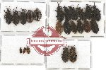 Scientific lot no. 447A Heteroptera (22 pcs)