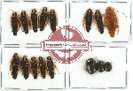 Scientific lot no. 14 Blattodea (16 pcs)