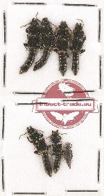 Scientific lot no. 87 Staphylinidae (6 pcs)