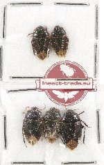 Scientific lot no. 130A Heteroptera (Cydnidae) (5 pcs)