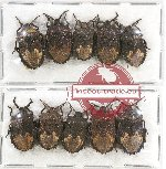 Scientific lot no. 452B Heteroptera (10 pcs)