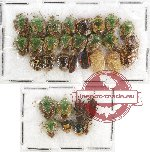 Scientific lot no. 429A Heteroptera (Pentatomidae) (32 pcs)