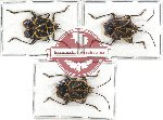 Scientific lot no. 449A Heteroptera (3 pcs - 1 pc A2)