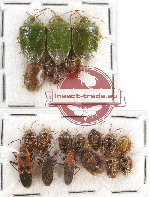 Scientific lot no. 438A Heteroptera (Pentatomidae) (19 pcs)