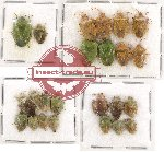 Scientific lot no. 465 Heteroptera (24 pcs)