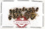 Scientific lot no. 431A Heteroptera (15 pcs)