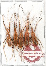 Scientific lot no. 454A Heteroptera (5 pcs)