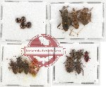 Scientific lot no. 421A Heteroptera (16 pcs)