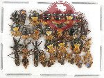 Scientific lot no. 458 Heteroptera (27 pcs)