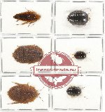 Scientific lot no. 15 Blattodea (6 pcs A, A-, A2)