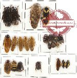 Scientific lot no. 19 Blattodea (23 pcs)