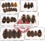 Scientific lot no. 21 Blattodea (29 pcs A, A-, A2)