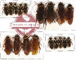 Scientific lot no. 20 Blattodea (18 pcs A, A-, A2)