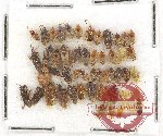 Scientific lot no. 440A Heteroptera (53 pcs)