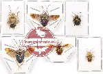 Scientific lot no. 450A Heteroptera (Pentatomidae) (6 pcs - 1 pc A2)