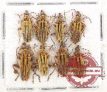 Scientific lot no. 14A Cantharidae (8 pcs)