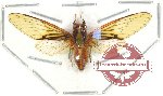 Cicada sp. 8A (SPREAD) (A2)
