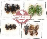 Scientific lot no. 589 Heteroptera (13 pcs)