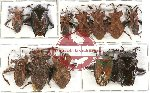 Scientific lot no. 624 Heteroptera (12 pcs A, A-, A2)