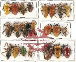 Scientific lot no. 625 Heteroptera (27 pcs A, A-, A2)