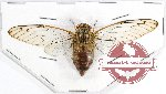 Cicadidae sp. 59 (6 pcs)
