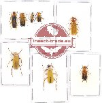 Scientific lot no. 15A Cantharidae (8 pcs A, A2)