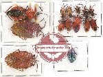 Scientific lot no. 604 Heteroptera (14 pcs)