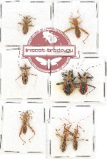 Scientific lot no. 613 Heteroptera (8 pcs)