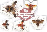 Scientific lot no. 621 Heteroptera (5 pcs)