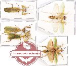 Scientific lot no. 5 Mantidae (5 pcs - 2 pcs A2)