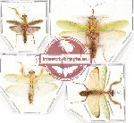 Scientific lot no. 4 Mantidae (4 pcs - 2 pcs A2)