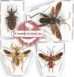 Scientific lot no. 645 Heteroptera (4 pcs)