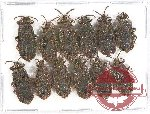 Scientific lot no. 637 Heteroptera (Aradidae) (12 pcs)